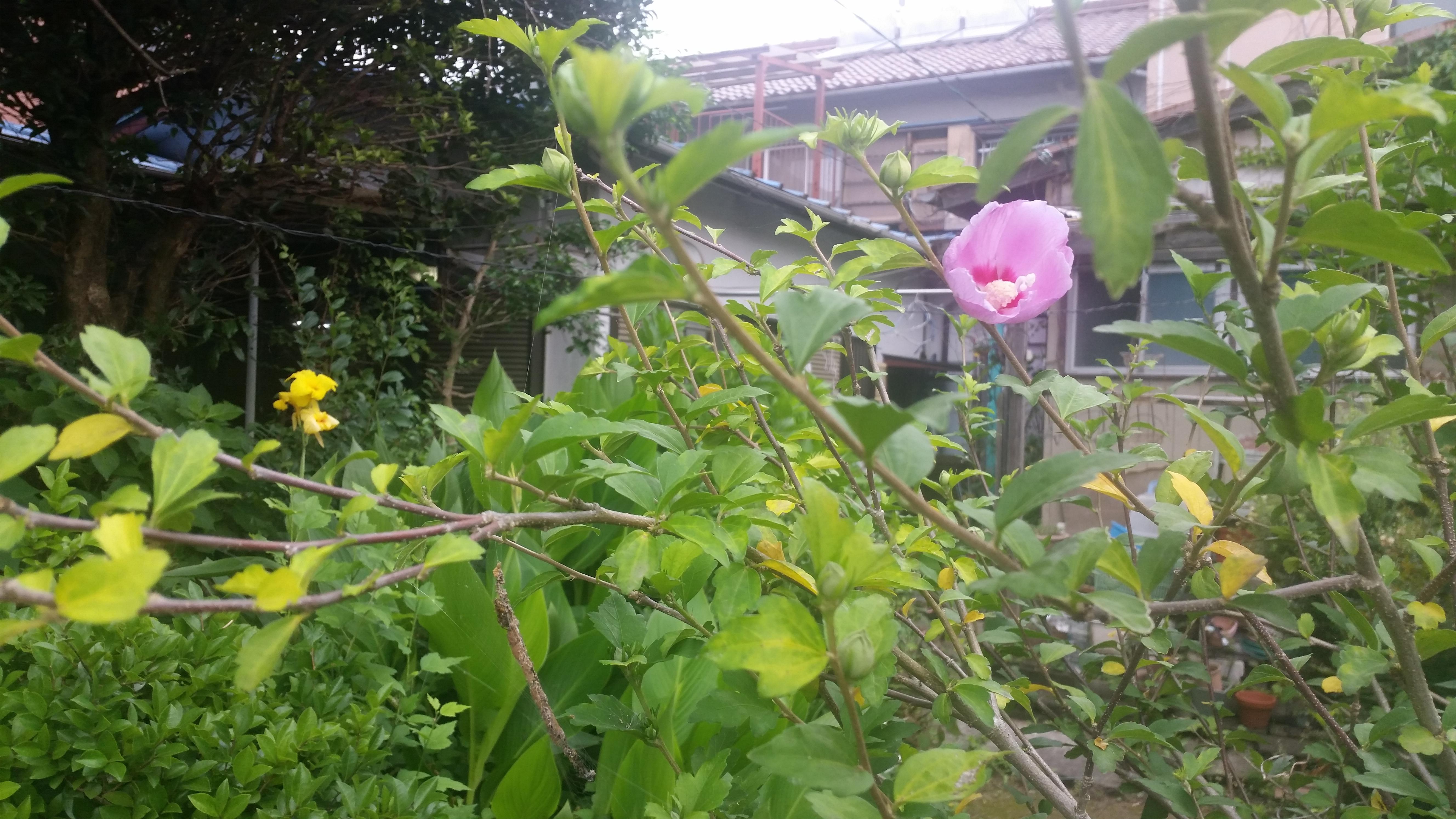 シャロンの薔薇とカンナ